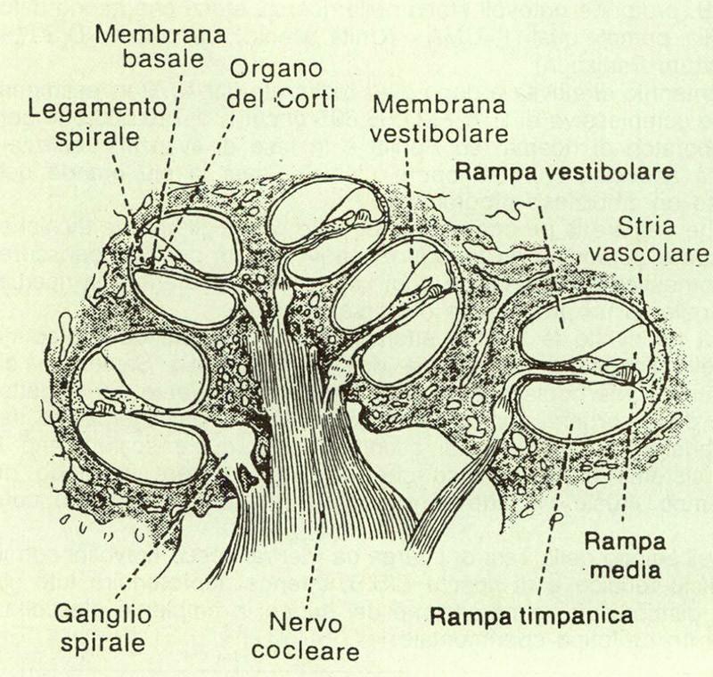 """Figura 5 - Conformazione della coclea. (Tratto da: Goss C.M. - """"Gray's Anatomy of the Human Body"""" - Lea & Febiger)."""