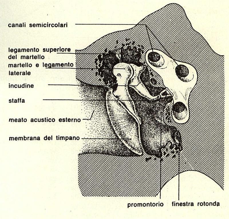 Figura 3 - Spaccato della cassa timpanica. Sono visibìli sia la membrana del timpano che il sistema degli ossicini. (Tratta da: EST - Enciclopedia della Scienza e della Tecnica - Mondadori).