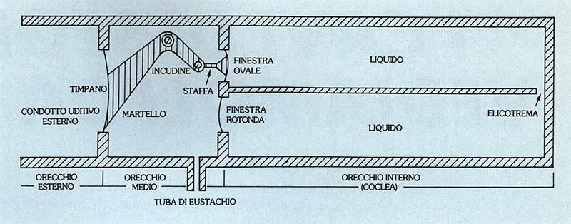 Figura 6 - Schema di funzionamento dell'orecchio. La pressione sonora colpisce il timpano, mettendo in vibrazione prima il martello, poi l'incudine e quindi la staffa. Quest'ultima preme sulla finestra ovale comprimendo il liquido all'interno della coclea.