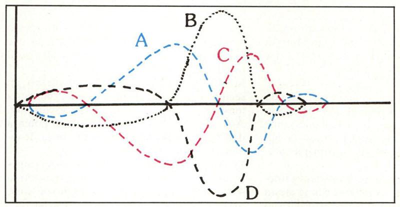 Figura 7 - Schema di vibrazione della membrana basale per un suono di media fequenza. (Tratta da: Guyton A.C., «Trattato di fisiologia medica», Piccin Editore).